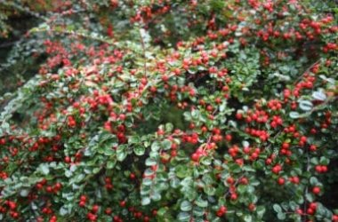 Tutto sul Cotoneaster o cotognastro, una pianta rustica da giardino dall'aspetto suggestivo
