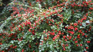 Photo of Tutto sul Cotoneaster o cotognastro, una pianta rustica da giardino dall'aspetto suggestivo