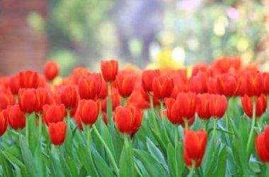 Fiori rossi: un solo colore per tanti fiori in grado di abbellire casa e giardino
