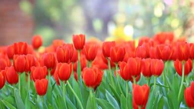 Photo of Fiori rossi: un solo colore per tanti fiori in grado di abbellire casa e giardino