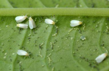 Cos'è la mosca bianca e come eliminare questo parassita dalle nostre piante