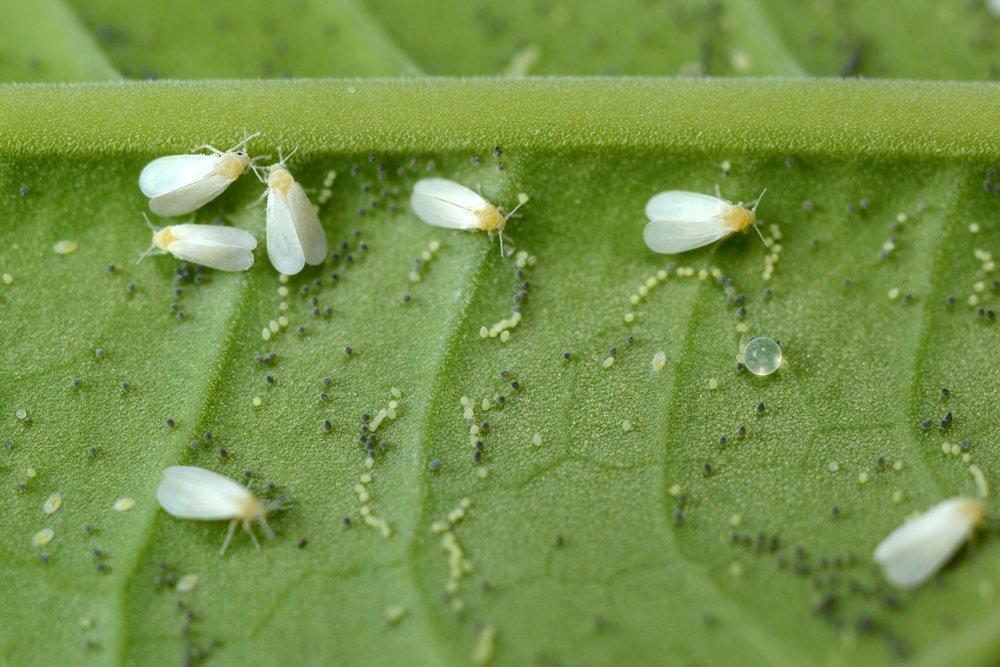 Photo of Cos'è la mosca bianca e come eliminare questo parassita dalle nostre piante