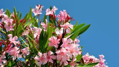 Photo of Tutto sull'oleandro, una pianta dai fiori bellissimi e facile da coltivare