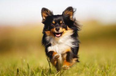 I segreti del Chihuahua Toy, razza di cane mini sempre più amata