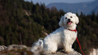 Photo of Guida al cane maltese: carattere, educazione e altre cose da sapere