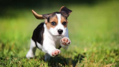 Photo of Beagle nano: quando il Beagle è di una taglia più piccola