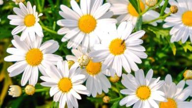 Photo of Alla scoperta della margherita o pratolina, il fiore dei prati per eccellenza