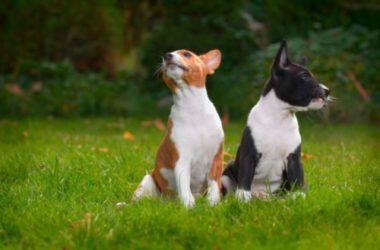 Cane Basenji o Cane del Congo, una razza di cani davvero particolare