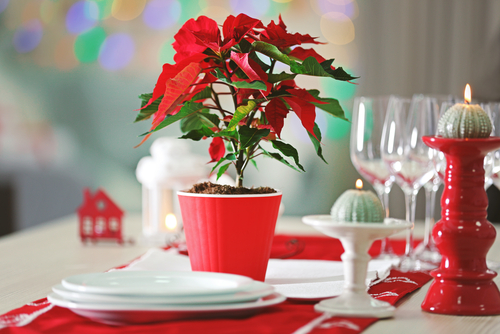 Stella Di Natale Come Conservarla.Come Conservare La Stella Di Natale Ben Oltre Le Feste