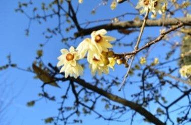 Tutto sul Calicantus, un arbusto in grado di fiorire anche nei mesi freddi