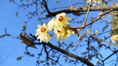 Photo of Tutto sul Calicantus, un arbusto in grado di fiorire anche nei mesi freddi