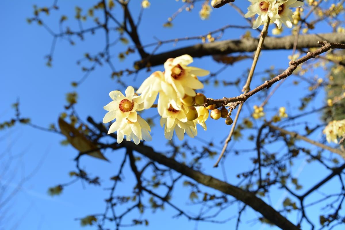 Calicanto Fiore D Inverno calicantus: varietà, caratteristiche, coltivazione e cure