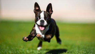 Photo of Tutto sul Boston Terrier, un fedele compagno di vita, adatto alla vita in appartamento