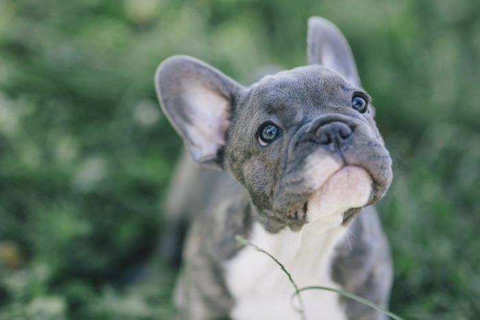 Bulldog Francese Carattere Educazione Del Cucciolo E Prezzi Tuttogreen