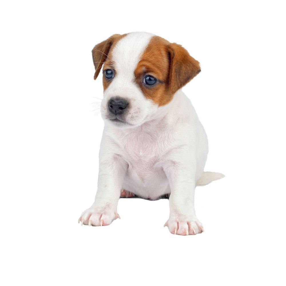 Photo of Tutto sul Jack Russell Terrier: dal carattere all'addestramento dei cuccioli