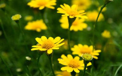Fiori gialli, i più belli per dare luce al giardino