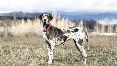 Photo of Alano: quello che c'è da sapere su un cane tanto grande quanto tenero
