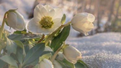 Photo of Quali sono le piante più resistenti al freddo? La guida pratica