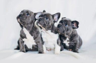 Scopriamo il Bulldog francese: cuccioli, carattere e addestramento