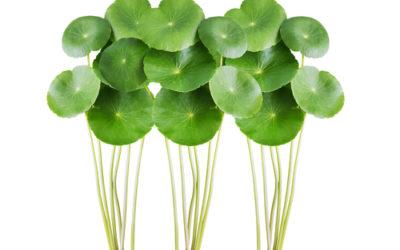 Centella: proprietà e controindicazioni di questa pianta
