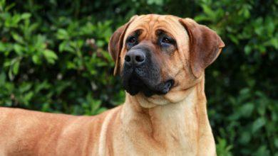 Photo of Tutto sul Bullmastiff, una razza di cani di origine inglese