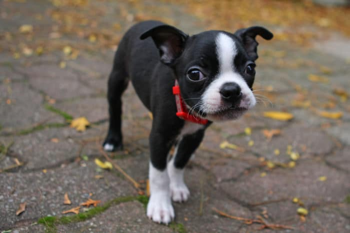 Boston Terrier cucciolo
