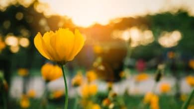 Photo of Fiori gialli: quali sono i fiori di questo colore nelle diverse stagioni