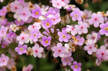 Saponaria: benefici e proprietà di questa pianta