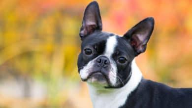 Photo of Boston terrier: carattere e peculiarità