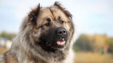 Photo of Tutto sul pastore del Caucaso, un cane dal carattere forte ed equilibrato