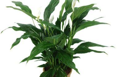Spathiphyllum: cure e coltivazione di una pianta tropicale