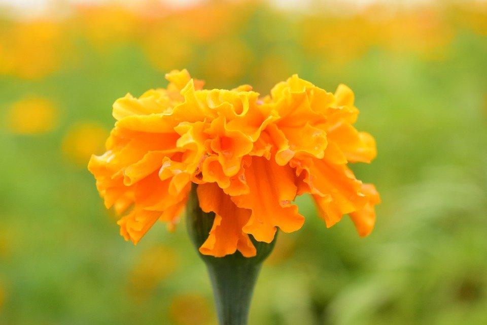 Photo of Tagete, il significato, la cura e la semina del fiore da orto