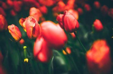 Fiori rossi: un solo colore per tante specie