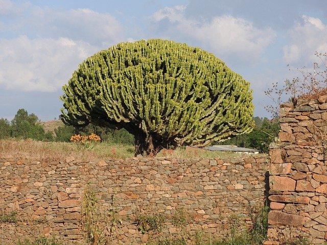 euforbia arborea