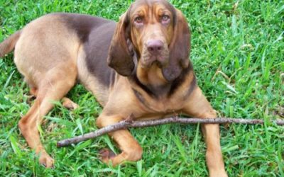Bloodhound, il cane da ricerca per le persone scomparse!