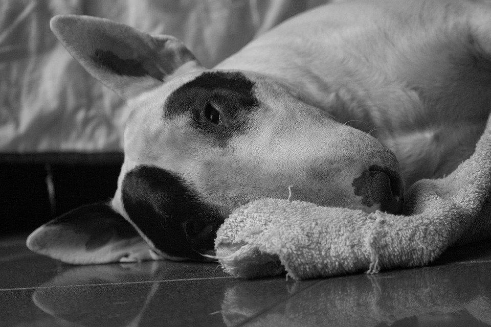 Photo of Eccovi le razze di cani da guardia e da difesa più popolari ed apprezzate