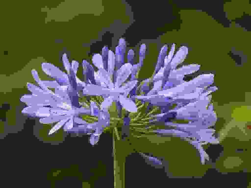 Agapanthus Foglie Gialle agapanto: coltivazione e consigli per curare questa