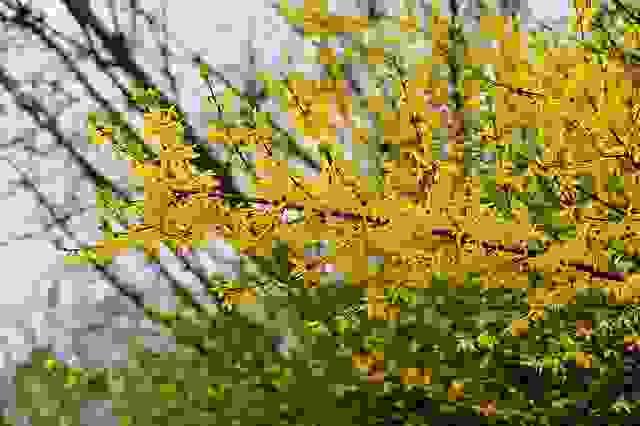 Pianta Fiori Gialli Primavera.Forsizia Cura E Coltivazione Di Questa Bella Pianta Da Giardino