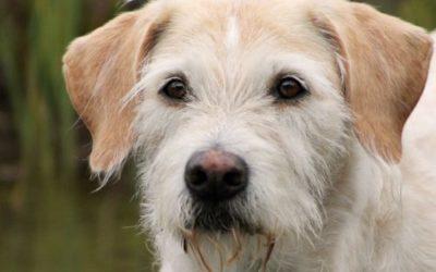 I segreti del levriero irlandese, un altro cane gigante dall'indole docile, fedele ed affettuosa