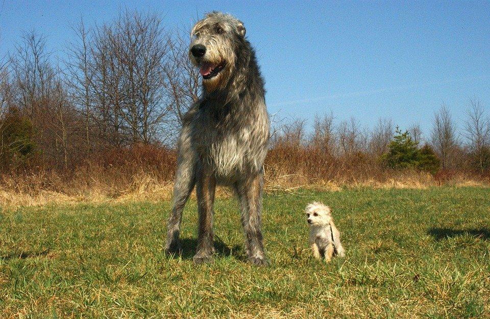 Photo of I segreti del levriero irlandese, un altro cane gigante dall'indole docile, fedele ed affettuosa