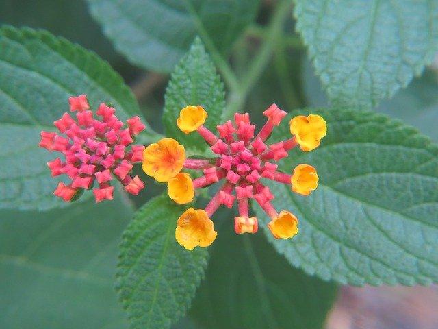 piante perenni lantana