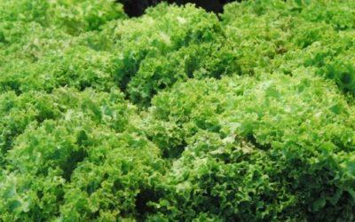 Scarola: proprietà, utilizzi in cucina e coltivazione