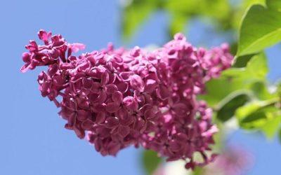 Lillà: caratteristiche, consigli e cure di questa pianta fiorifera