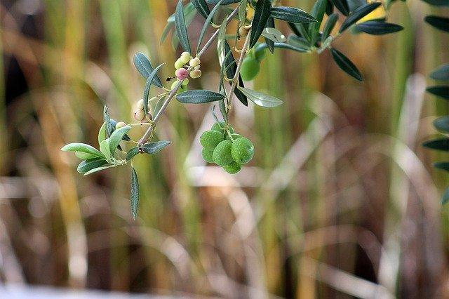 piante perenni olive