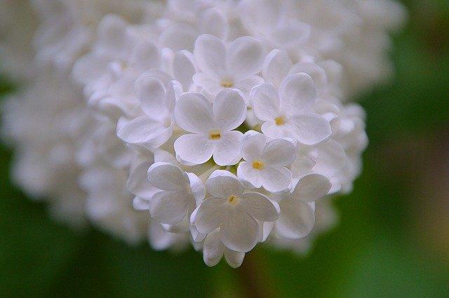 Photo of Lillà: caratteristiche, consigli e cure di questa pianta fiorifera