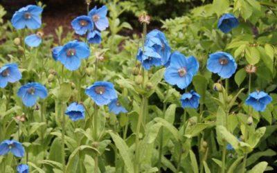 Fiori blu, bellissimi e diversi