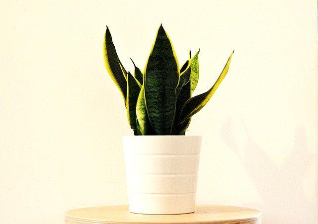 Sanseveria piante facili da coltivare