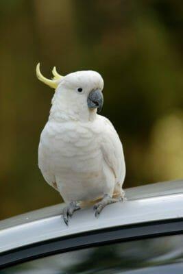 animali che vivono molto più a lungo dell'uomo: pappagallo cacatua