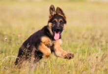 Photo of Scopriamo tutto sul cane pastore tedesco, il cane da guardia più popolare nel mondo