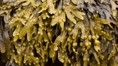 Photo of Alga fucus: proprietà ed applicazioni per dimagrire